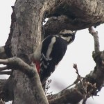 Another shot of the woodpecker. This is the tree where I heard the owls hissing...